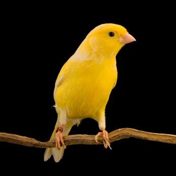 طعام طيور الكناري
