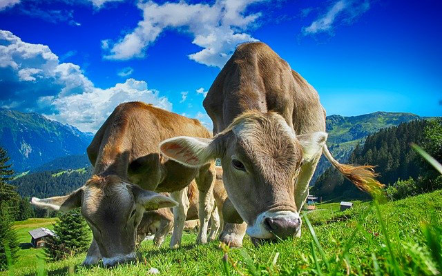 تفسير حلم البقرة في المنام